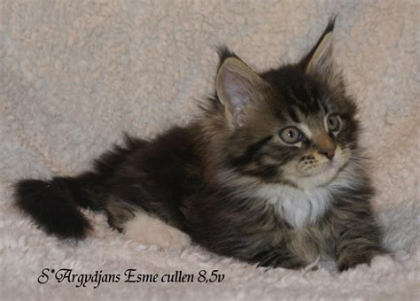 Maine coon hona - Annonser/omplaceringar - Maine Coon iFokus