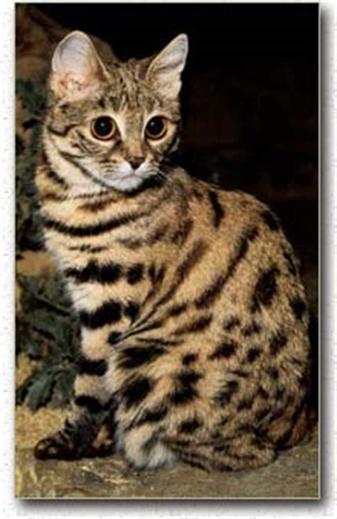 Animal Info - Black-footed Cat