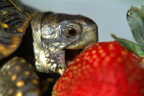 Turtle Eating a Strawberry - Off-Topic - Giant Bomb