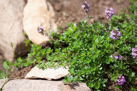 What Does Thyme Look Like? (Dec
